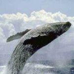 płetwal błękitny wyskakujący nad wodę