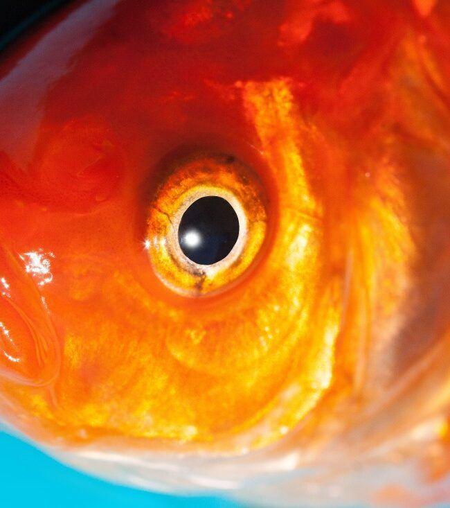 Czerwona ryba z dużym otwartym okiem