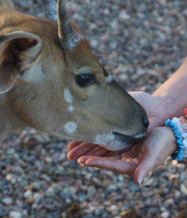 dziewczyna karmi antylopę
