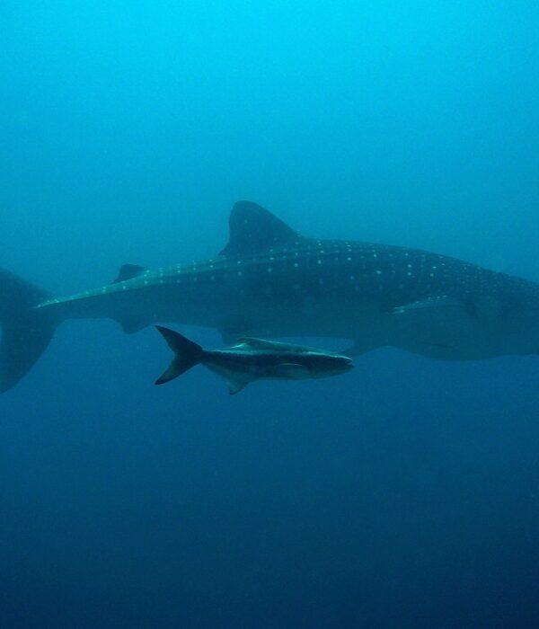 Rekin wielorybi - największa ryba świata