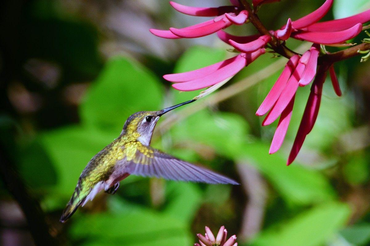 koliber pijący nektar z kwiatów