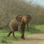 Młody słoń na drodze