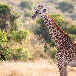 Żyrafa na sawannie